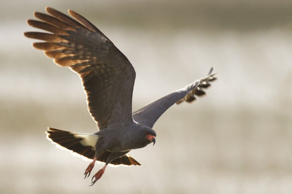"Grand Prize Photo by Greg Matthews ""Back Lit Snail Kite"""
