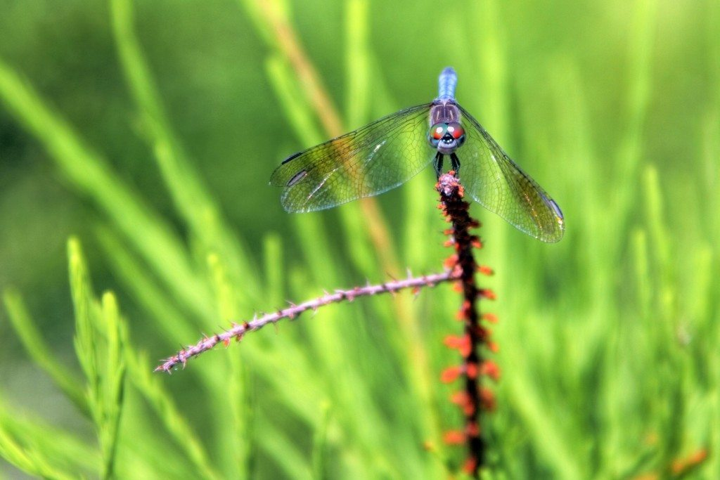 """Droopy Dragonfly"" Photo by Greg Matthews"