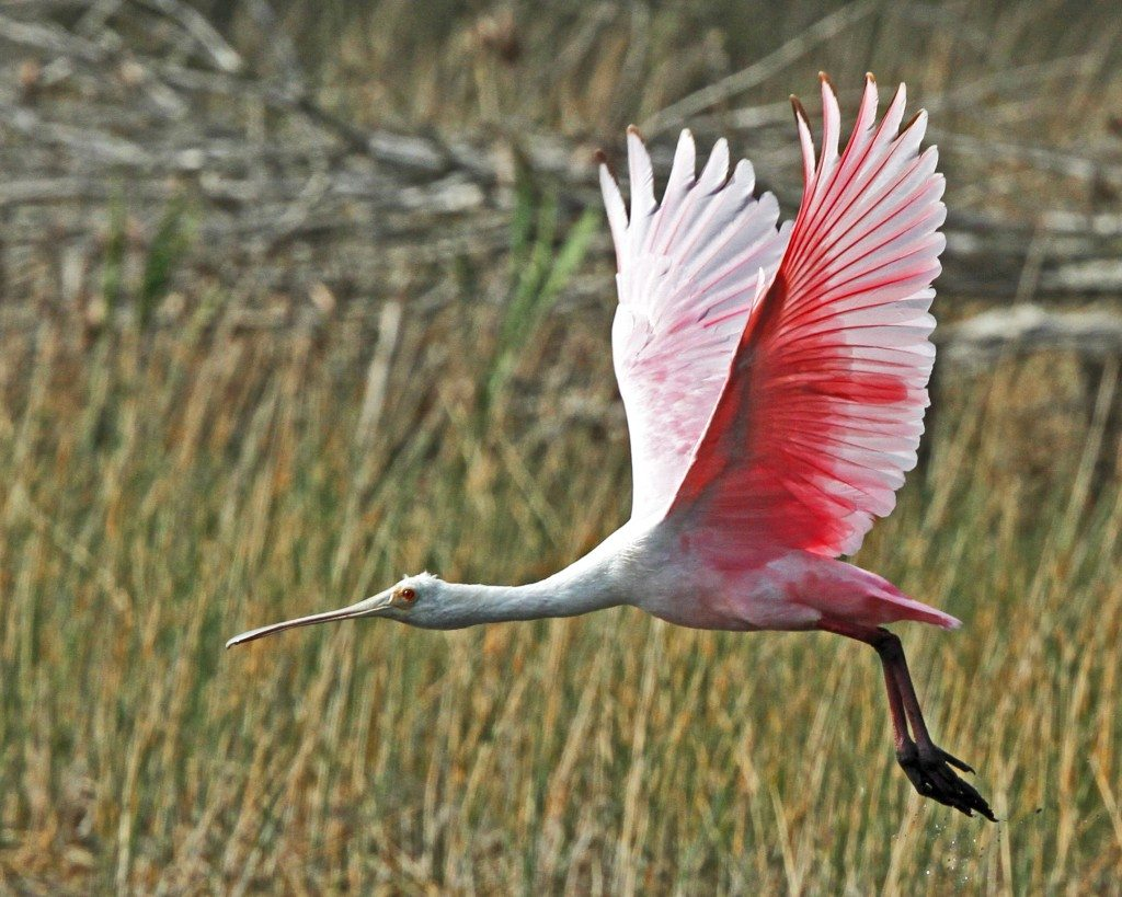 "Nature Center Choice Photo by Ken Craig ""Roseate Spoonbill in Flight"""
