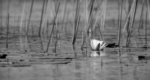PEOPLE'S CHOICE WINNER AND HONORABLE MENTION White Water Lily B&W