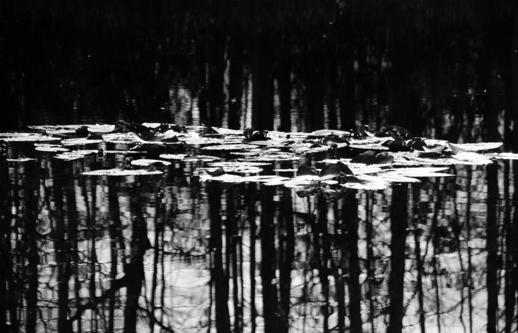 """Black and White Water Lilies"" Amy Garelick"