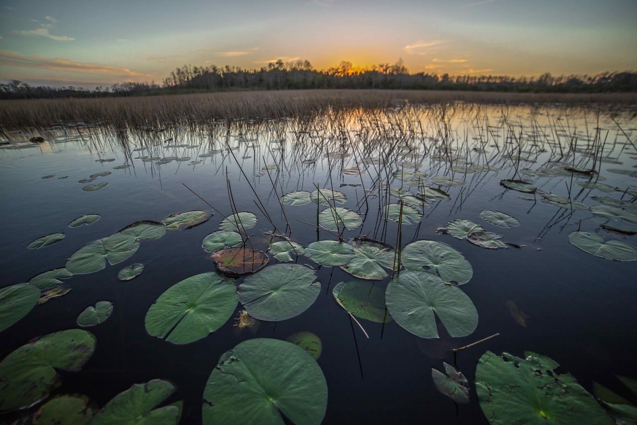 """Lily Pads at Sunset"" Katherine Reilly"