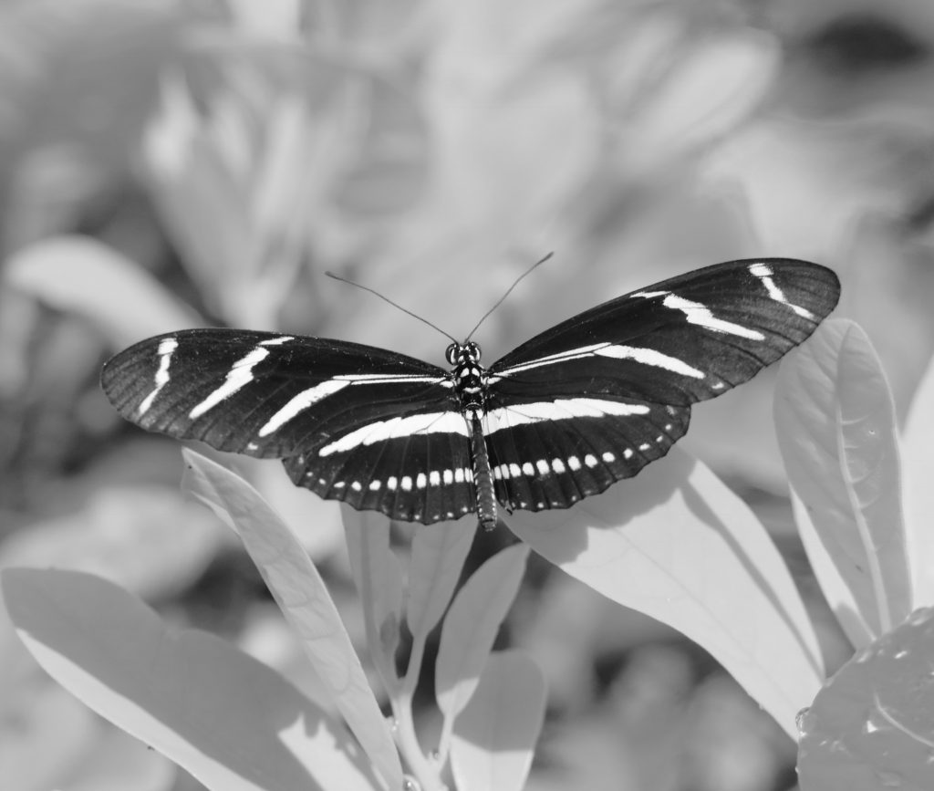 """Zebra Longwing Butterfly"" Carolyn Hall"